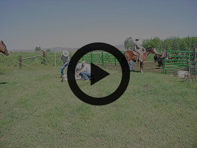 Slideshow preview - Stockmanship and calf processing