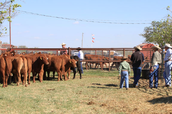 Visitors to the R.A. Brown Ranch look over a pen of heifers