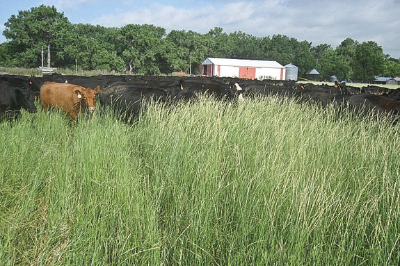 Randy Holmquist's cattle grazing