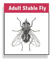 Adult Stable Fly