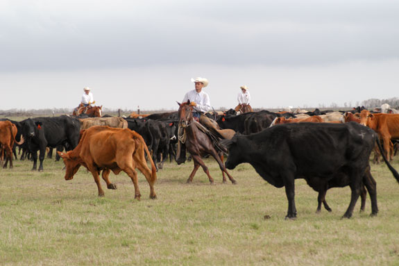 Cowboys holding and cutting a herd