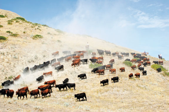 Cattle drive on hillside at Padlock Ranch