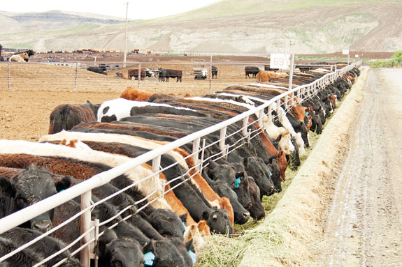 Cattle at the bunk
