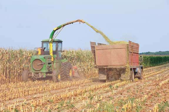 Corn is chopped with haylage into silage