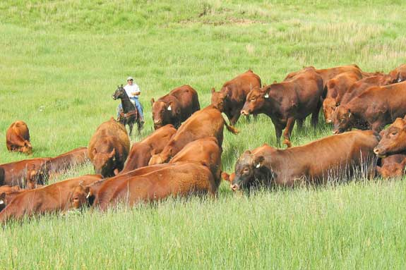 A rancher and some cattle in the fields