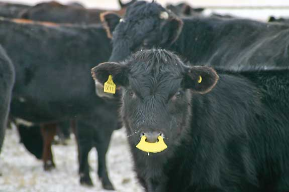Plastic nose flaps keep calves from suckling but not from eating or drinking