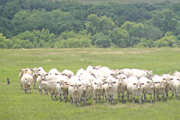 A herd of white cattle