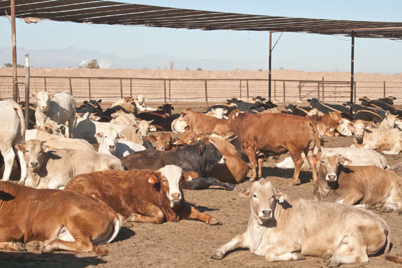 Cattle laying in the sun