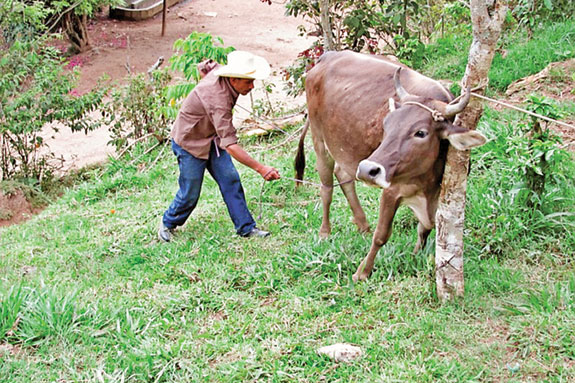 Honduran approaching cow tied to a tree