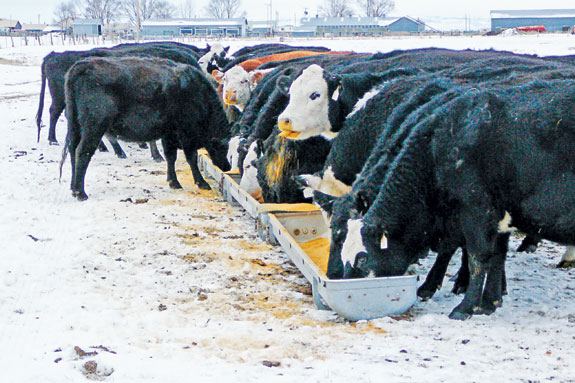 Cattle at a trough in the snow.