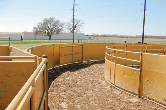 Tub leading into the crowding alley on one of the Texas A&M beef cattle farms.