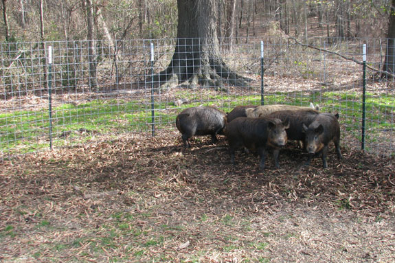 Trapped feral pigs