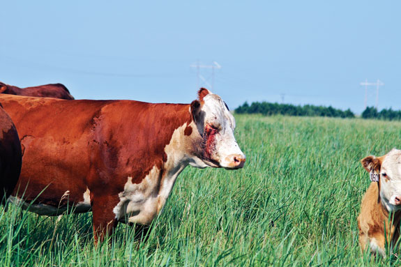 Pinkeye Dont Lose Sight Of The Total Problem Progressive Cattle