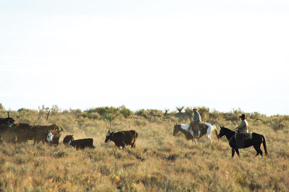 New Mexico cowboys gather cows at C&M Hereford Ranch