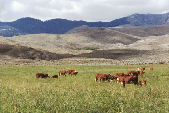 Cattle grazing in large groups