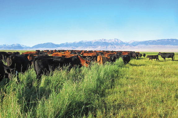 Cows grazing in flood irrigated fields
