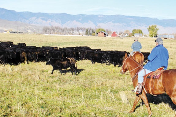 Eagle Valley Ranch employees moving cows into their next grazing paddock.