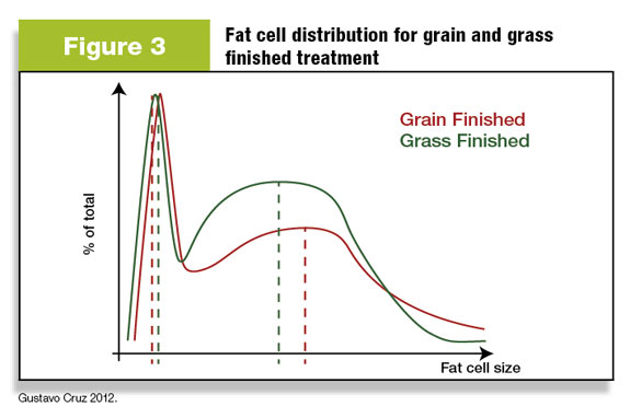 Figure 3: Fat cell size distribution for grain-finished and grass-finished cattle