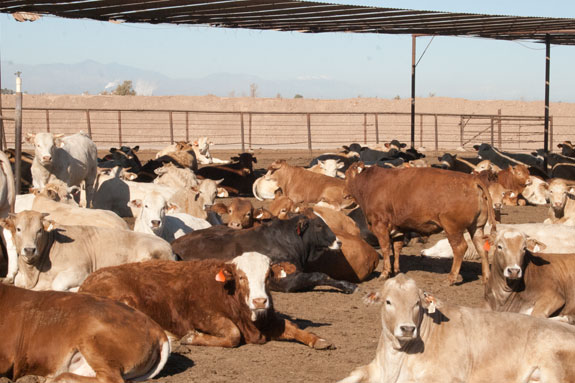 Mexican cattle imports