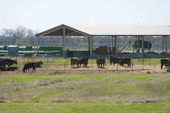 Calves in a fenced pasture