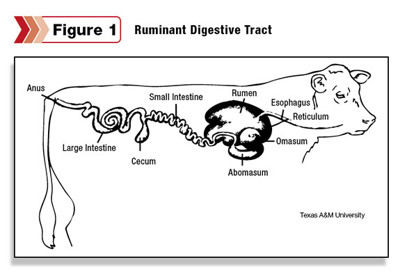 Figure 1: the disgestive tract of the ruminant