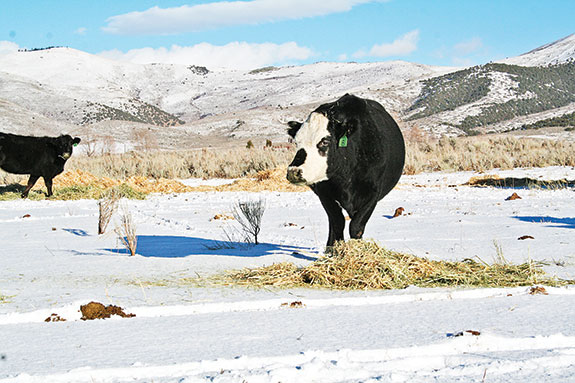 cow feeding in a snowy pasture