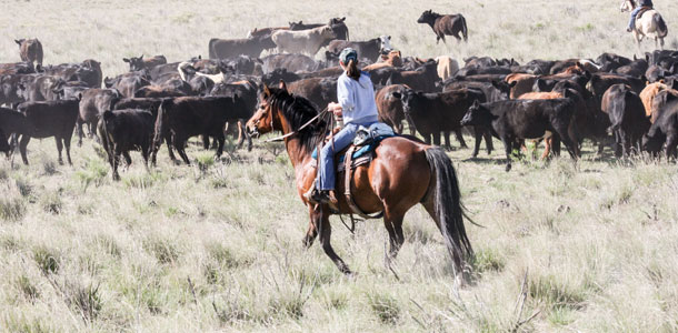 Leasing Cattle Provides Another Option For Beginning