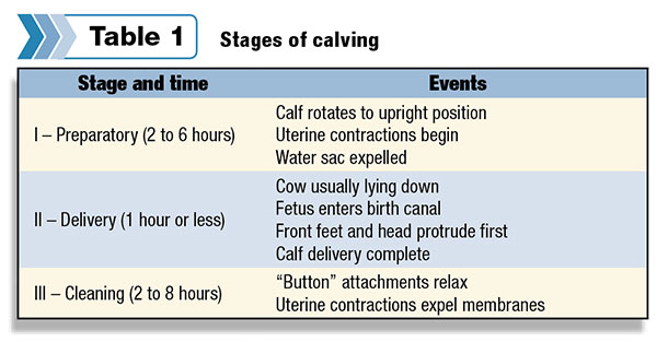 Stages of calving