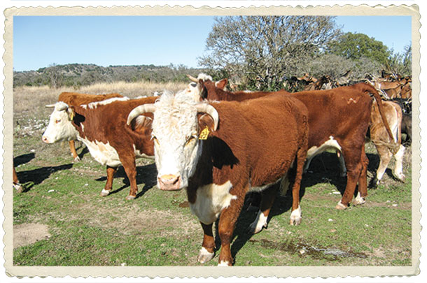 Herefords are the foundation of the Weinheimer Family Ranch