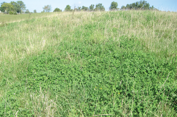 A strong stand of red clover in mixture with tall fescue