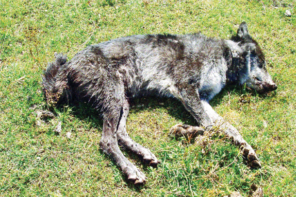 Wolf shot while in the process of chasing and killing cattle