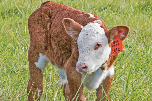 A newborn calf on the pasture entering Kaczmarek Herefords Ranch