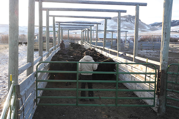 Put someone behind the cattle to deep them from crowding back against the rear gate