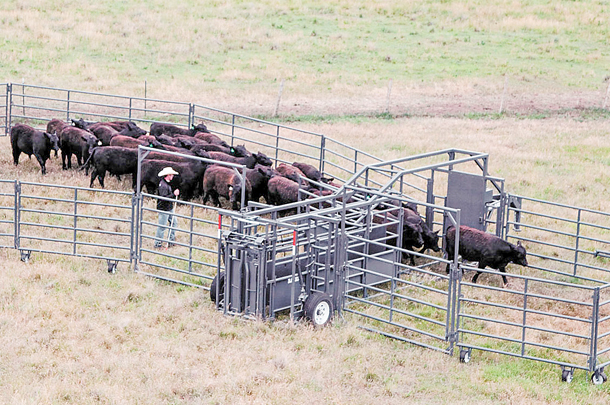 Portable corrals provide convenience and ease to work cattle on pastures