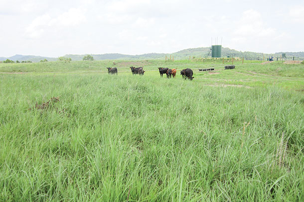 big bluestem/indiangrass pasture on a reclaimed surface mine