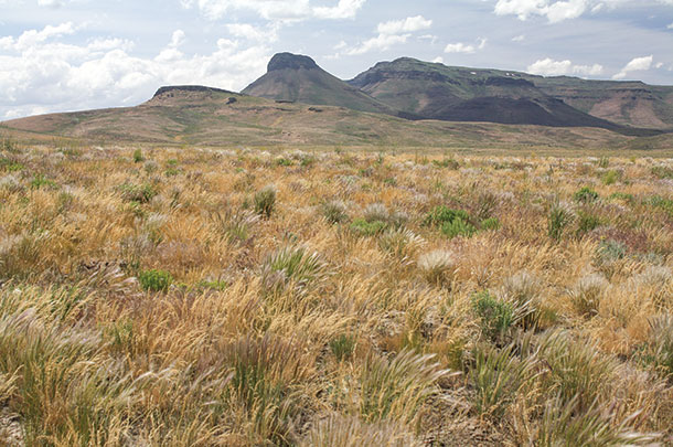 Perennial bunchgrasses are vital to Western rangelands.
