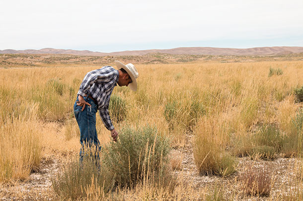 Jon Griggs looks over his crested wheatgrass