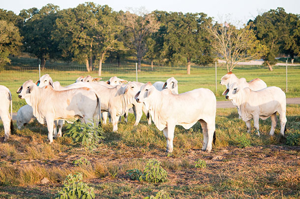 Brahmans at kallion Farms