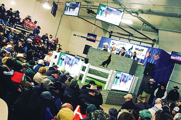 Wulf Cattle started using video auction in 2016