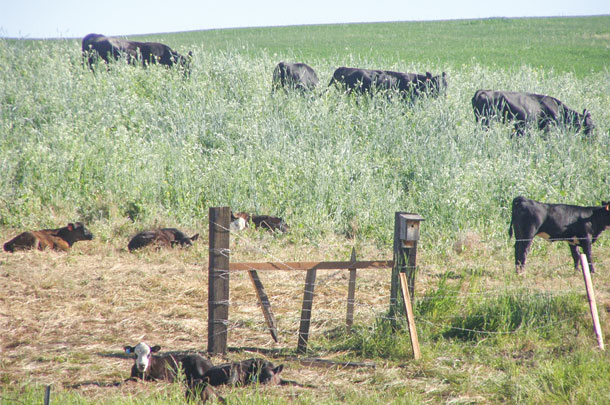 Cow-calf pairs grazing cover crops