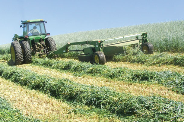 Windrowing cover crop for windroe grazing