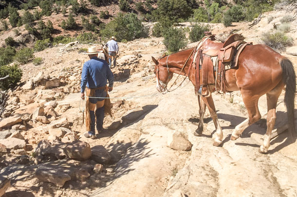 The horses have to be led down the slick rock trails to get to the cattle