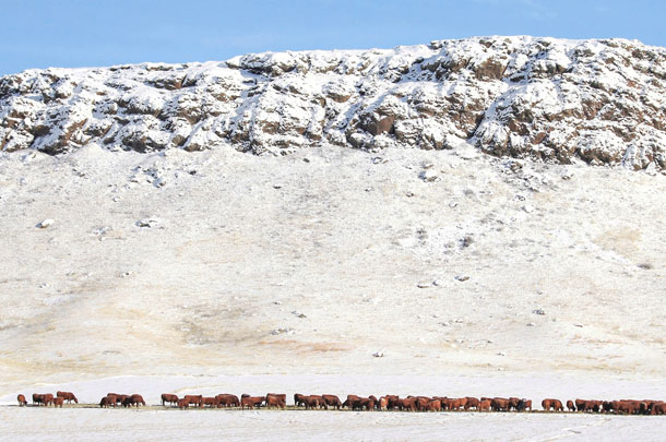cattle on snowy range