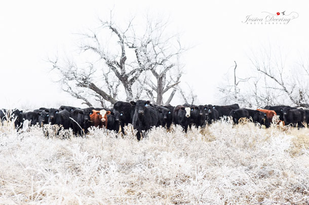 Cattle in this region must be hardy to survive the extreme weather