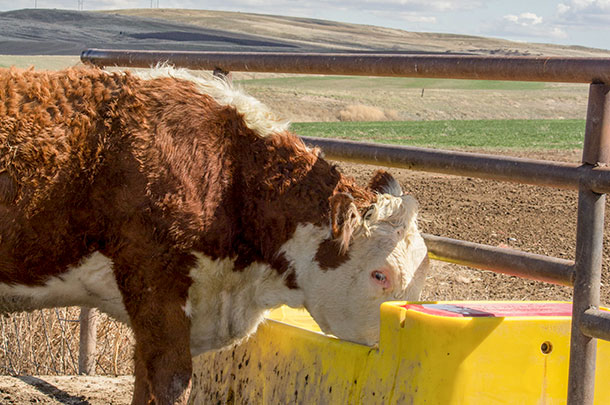 Improve Water Quality for Better Cattle Health - Progressive