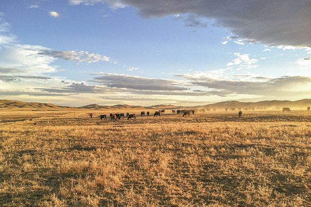 Cattle graze on a cheatgrass-invaded pasture