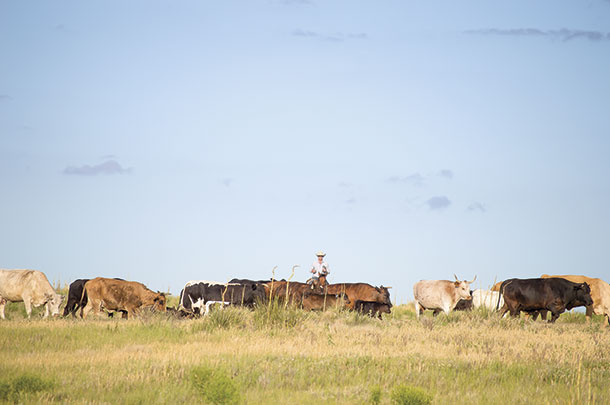 coby Fletcher rides through cattle woned by Mark Adams