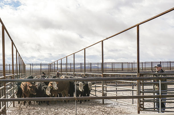 Cattle are auctioned off at the Santa Teresa Livestock Auction