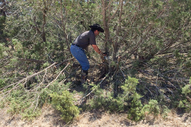 harvesting juniper trees
