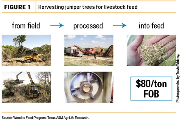 Harvesting juniper trees for livestock feed